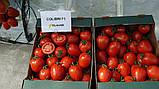 Колибри F1 10 шт семена сливки высокорослой Clause Франция, фото 4
