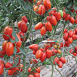Колибри F1 10 шт семена сливки высокорослой Clause Франция, фото 5