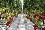 Колибри F1 10 шт семена сливки высокорослой Clause Франция, фото 6