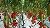 Колибри F1 10 шт семена сливки высокорослой Clause Франция, фото 7