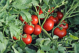 Ольга F1 1000 шт. семена томата низкорослого Vilmorin Франция, фото 3
