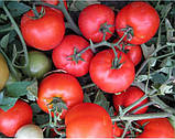 Ольга F1 1000 шт. семена томата низкорослого Vilmorin Франция, фото 4