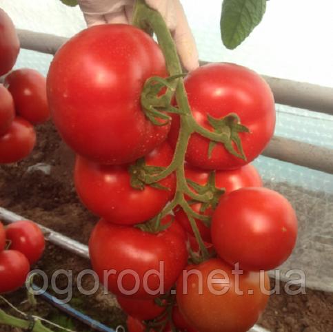 Зульфия F1 100 шт. семена томата высокорослого Rijk Zwaan Голландия