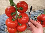 Махитос F1 10 шт семена томата высокорослого Rijk Zwaan Голландия, фото 3