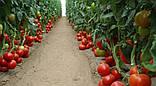 Махитос F1 10 шт семена томата высокорослого Rijk Zwaan Голландия, фото 4