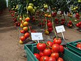Махитос F1 10 шт семена томата высокорослого Rijk Zwaan Голландия, фото 5
