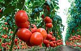 Махитос F1 10 шт семена томата высокорослого Rijk Zwaan Голландия, фото 6