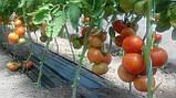 Махитос F1 10 шт семена томата высокорослого Rijk Zwaan Голландия, фото 7