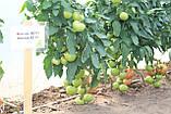 Махитос F1 10 шт семена томата высокорослого Rijk Zwaan Голландия, фото 8