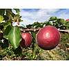 Саженец абрикоса Рубиста (Rubista)