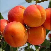 Саженец абрикоса Харгранд (Khargrand)