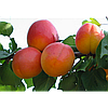 Саженец абрикоса Фаралия (Faralia)