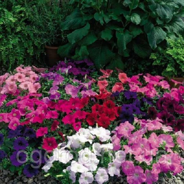 Ramblin(Рамблін) 5 шт насіння петунії крупноквіткової Syngenta Голландія Mix