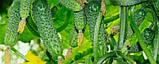 Амур F1 семена огурца Bejo Голландия 250 шт, фото 3