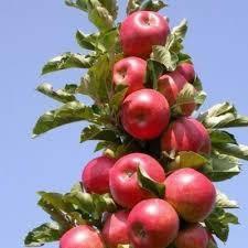 Колоновидная яблоня Талисман, фото 2