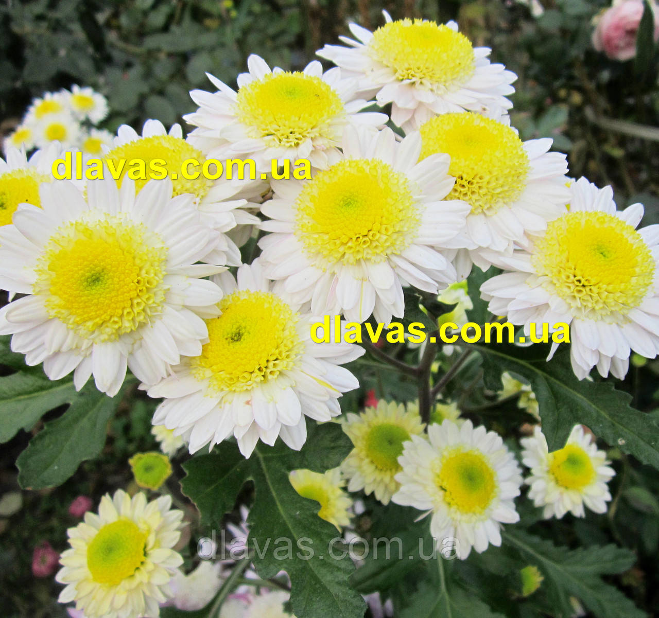 Корейская хризантема Горный Хрусталь куст