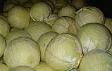 Атрия F1 10 шт семена капусты Seminis Голландия, фото 2