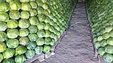Атрия F1 10 шт семена капусты Seminis Голландия, фото 5