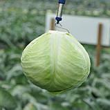 Анкома F1 семена капусты Rijk Zwaan Голландия 1000 шт, фото 2