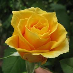 Саженцы чайно-гибридной розы Папилон (Papillon)