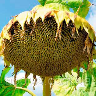 Вінченцо  (ALFA Seeds) під технологію СУМО