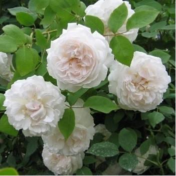 Саженцы английской розы Сияющая невеста (Shining Bright), фото 2