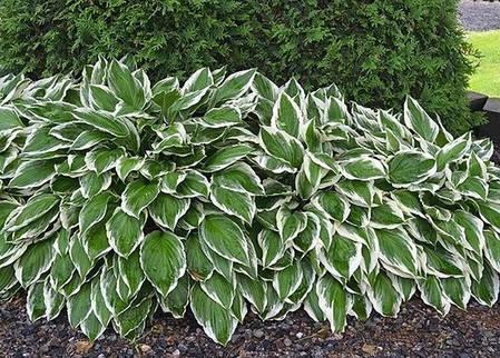Хоста Undulata Albomarginata, фото 2