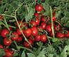Семена томата 7204 F1 5000 с. Lark Seeds