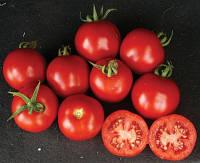 Семена томата Шаста F1 10000 с. Lark Seeds