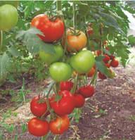 Семена томата Баракуда  F1 250 с. Lark Seeds