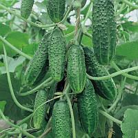 Огурец Виноградная гроздь F1 ранний гибрид - урожайный, корнишоны для засолки и консервации