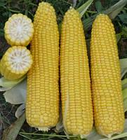 Кукурудза цукрова Добриня F1 2500 с. Lark Seeds
