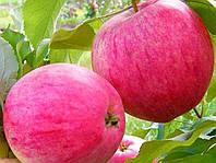 Саджанці яблуні РОЖЕВИЙ НАЛИВ (дворічний)