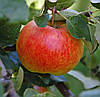 Саджанці яблуні ДЖЕЙМС ГРІВ (дворічні)