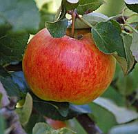 Саженцы яблони ДЖЕЙМС ГРИВ (двухлетние)