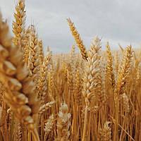 Семена пшеницы озимой Шестопаловка (1 репродукция)