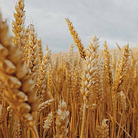 Семена пшеницы озимой Шестопаловка (элита)