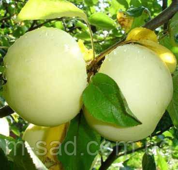 Саженцы яблони Белый Налив, фото 2