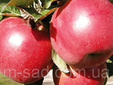 Саженцы Яблони Эрли Женева (самоплодный,сладкий,среднерослый), фото 2