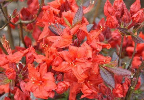 Рододендрон листопадний Fireball 4 річний 40-70cм, Рододендрон листопадный Фиребалл / Фаэрболл, Rhododendron, фото 2