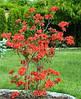 Рододендрон листопадний Fireball 4 річний 40-70cм, Рододендрон листопадный Фиребалл / Фаэрболл, Rhododendron, фото 3