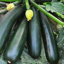 Семена кабачка Аэронавт  1 кг
