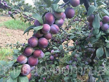 Саженцы сливы Кабардинка (ранний,скороплодный,крупноплодный), фото 2