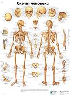 Анатомический плакат 67х50см. Код.VZR6113L (скелет человека)