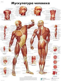 Анатомический плакат 67х50см. Код.ZVR6118L (мускулатура человека)