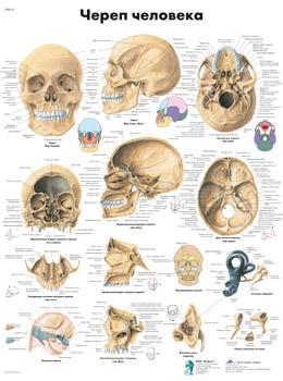 Анатомический плакат 67х50см. (череп человека)
