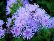 """Семена цветов """"Агератум синий"""""""