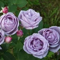 Троянда Індіголетта Indigoletta плетюча ВКС