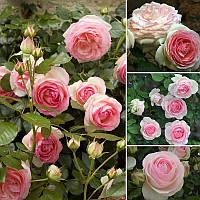 Троянда Пьер де Ронсар Pierre de Ronsard Плт (привита) 1-річний вегетуючий саджанець