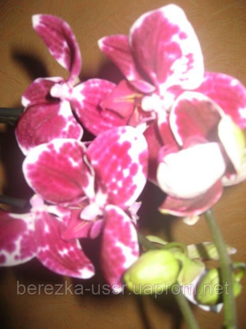 Орхидея Бордово-Белая 1 цветонос
